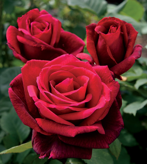 Rosas Mr Lincoln