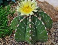 imagen Cactus estrella: una suculenta con mucha espina