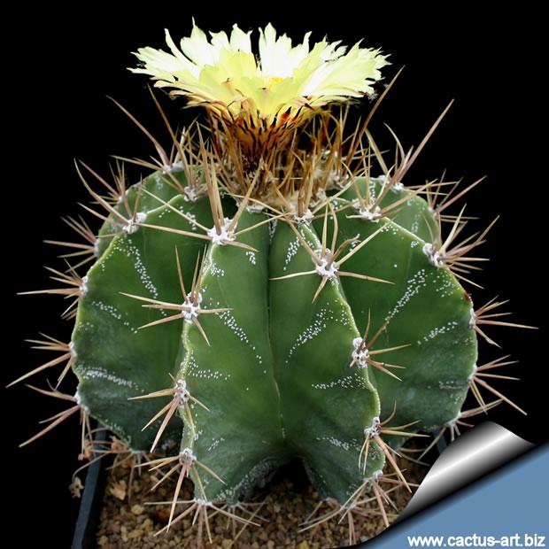 Astrophytum ornatum 3