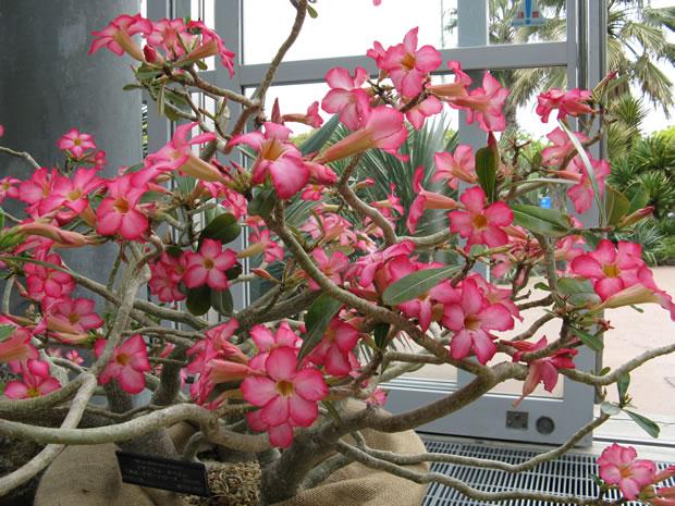 Rosa del desierto 1