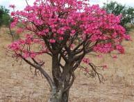 imagen Adenio o rosa del desierto: la flor que despierta del frío