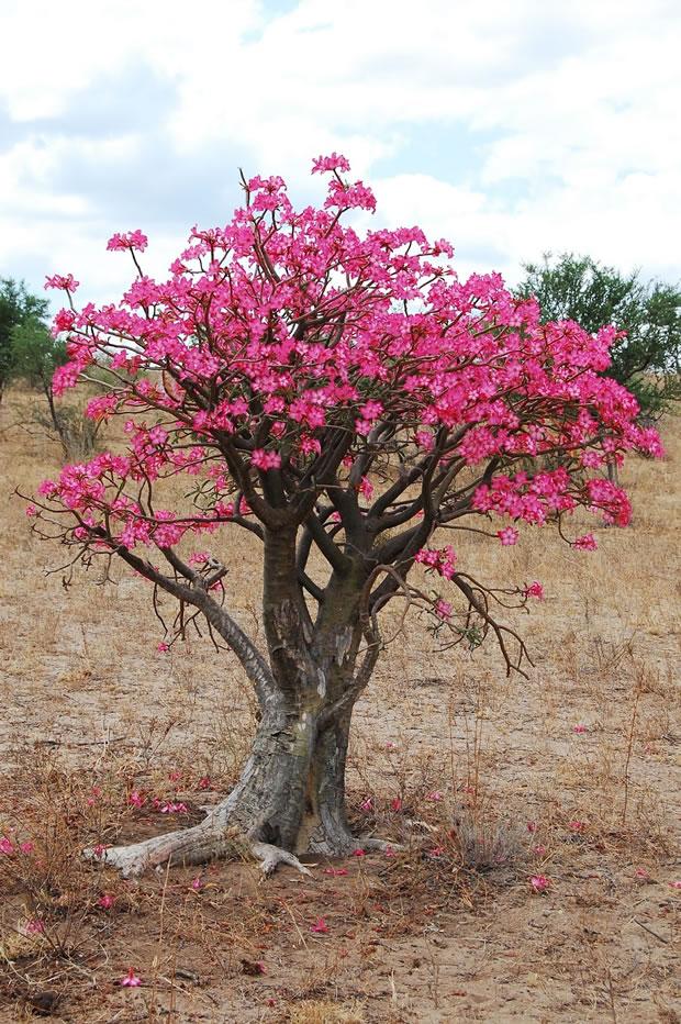 Rosa del desierto 3