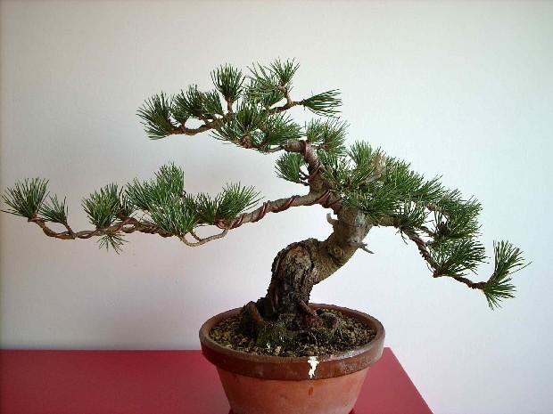 Alambrado bonsái paso a paso 1