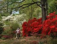 imagen Composiciones con azaleas en el jardín o en maceta