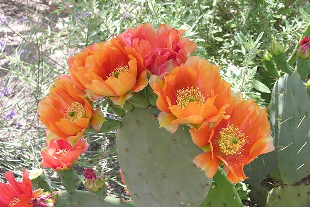Flor de cactus 2