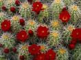 imagen Control de la floración en los cactus