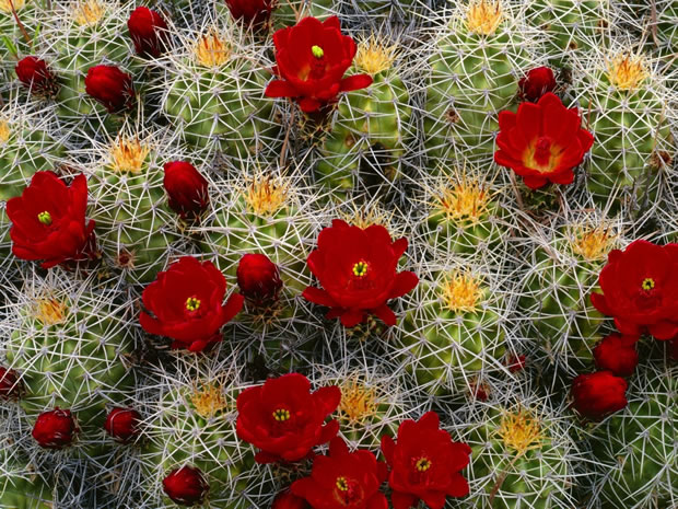 Flor de cactus 3