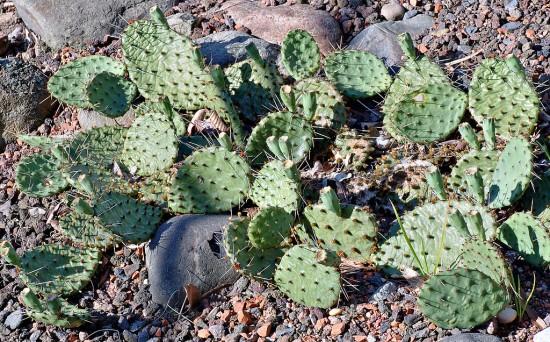 Cactus de clima frío 3