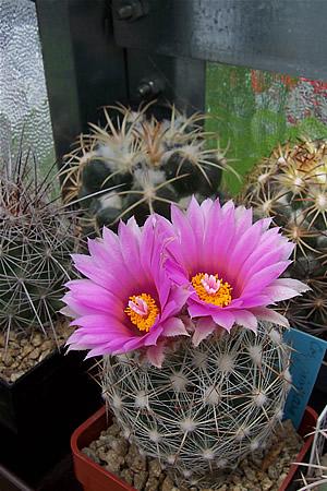 Cactus de clima frío 4