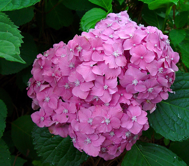 Cuidado de hortensias exterior dise os arquitect nicos - Cuidado de las hortensias ...