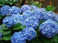imagen Cómo cambiar el color de las flores de las hortensias