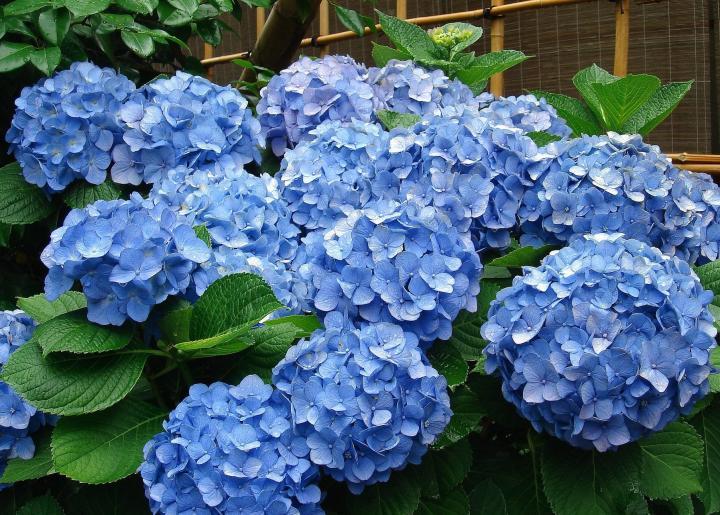 Como Cambiar El Color De Las Flores De Las Hortensias - Color-hortensia