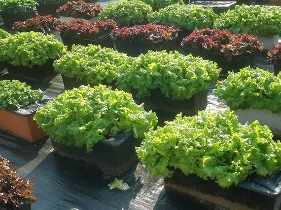semilleros de lechugas