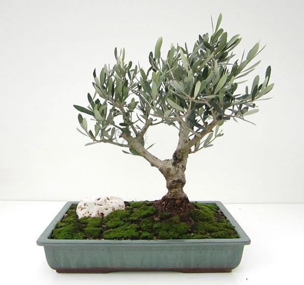 Bonsai de olivo 1