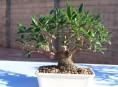 imagen Cómo hacer tu propio olivo bonsái