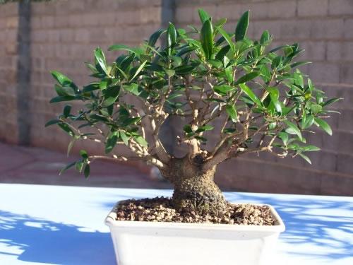 Bonsai de olivo 2