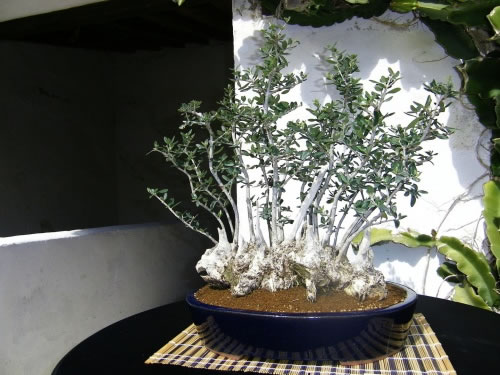 Bonsai de olivo 3