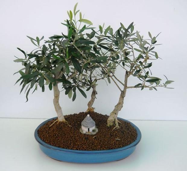 C mo hacer tu propio olivo bons i - Como cultivar bonsais ...