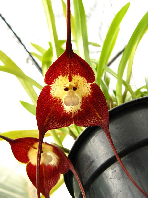 Orquídeas drácula simio