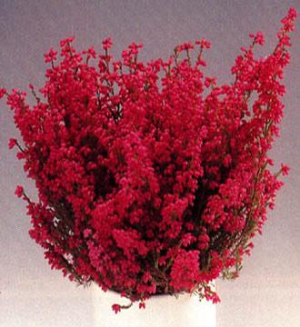 plantas-para-desear-buena-fortuna-en-navidad-03