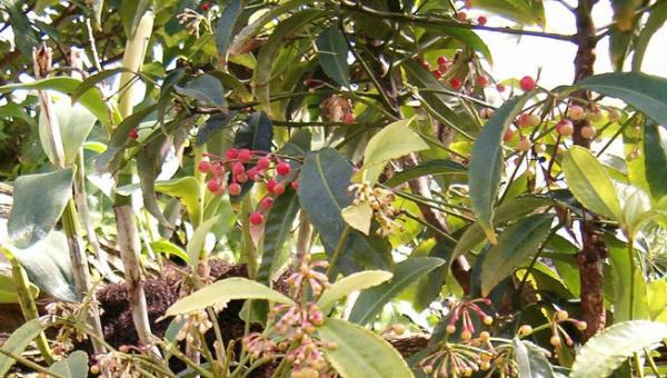 plantas-para-desear-buena-fortuna-en-navidad-04