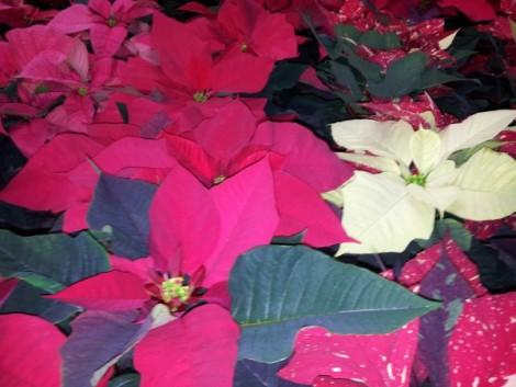 Plantas para navidad 2