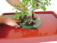 imagen Cómo regar correctamente un bonsái