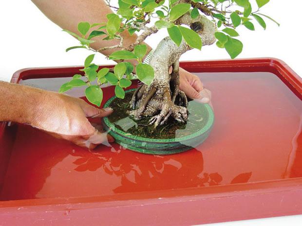 Riego del bonsai 2
