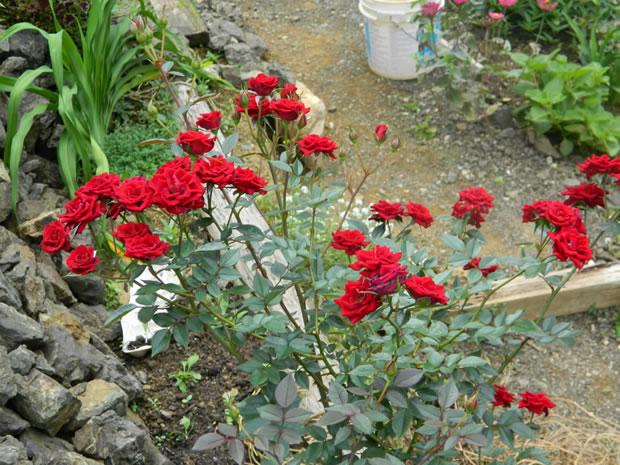 rosa pitiminí o enana 2