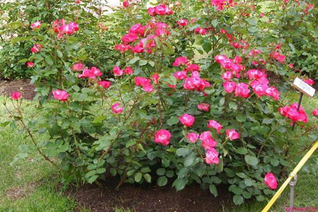 rosa pitiminí o enana 3