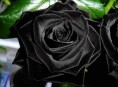 imagen El mito de las rosas negras