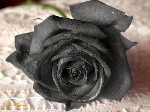 rosas halfeti 2