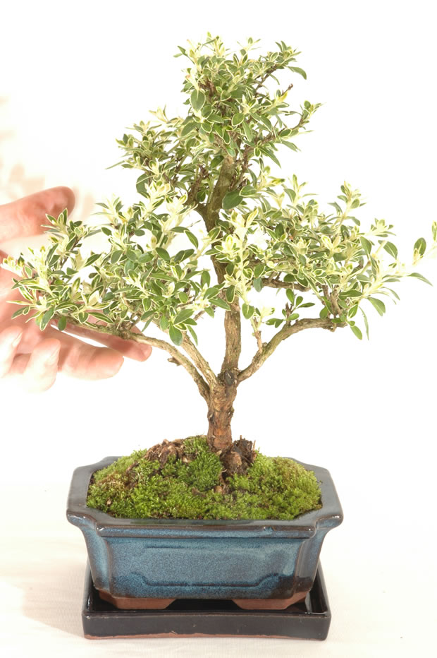 Bonsais de interior especies stunning bonsai collection for Bonsais de interior