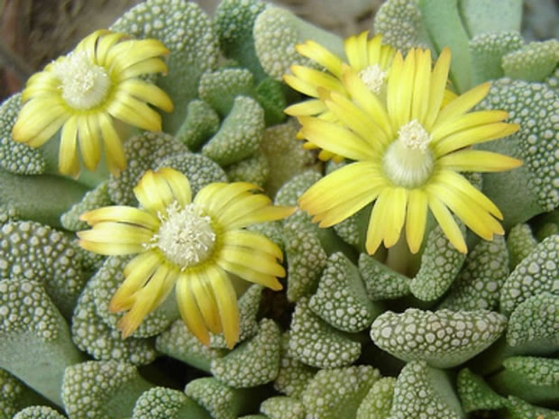 Cultivo decorativo de suculentas for Cactus variedades fotos