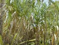 imagen Cañas comunes: ¿plantas invasivas o fuentes de energía?