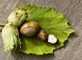 imagen El avellano: cultivo y cuidados de un árbol apetitoso