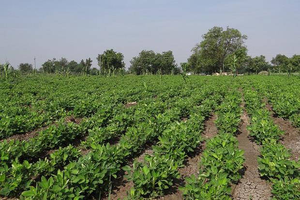 Cultivo de cacahuetes 1