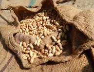 imagen Cultivo de cacahuetes en el jardín