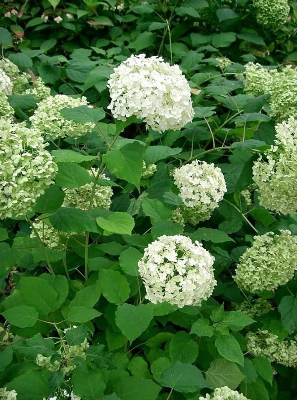 Florecimiento de las hortensias 1