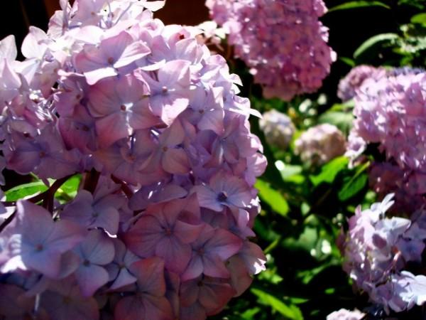 Florecimiento de las hortensias 3