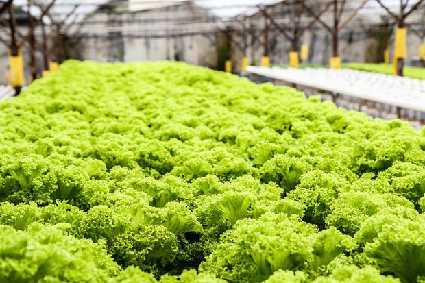 Cultivos hidropónicos 1