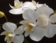 imagen La orquídea phalaenopsis: cultivo y cuidados