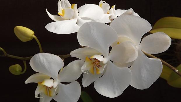 Orquídea phalaenopsis 1