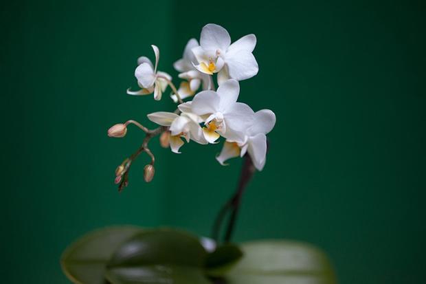 Orquídea phalaenopsis 2