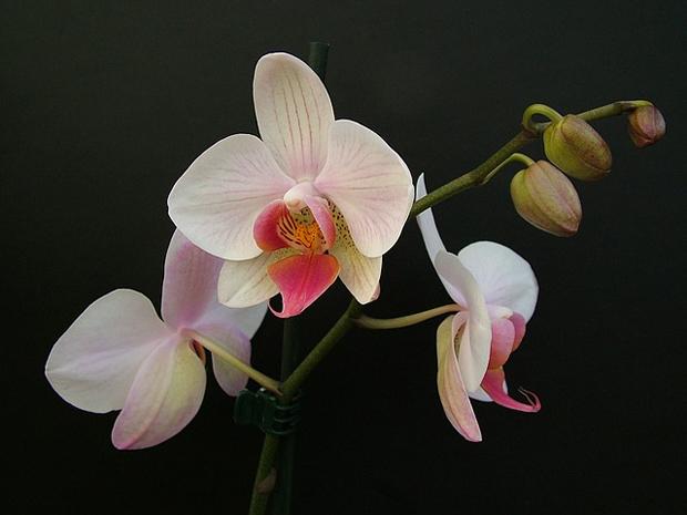 Orquídea phalaenopsis 3