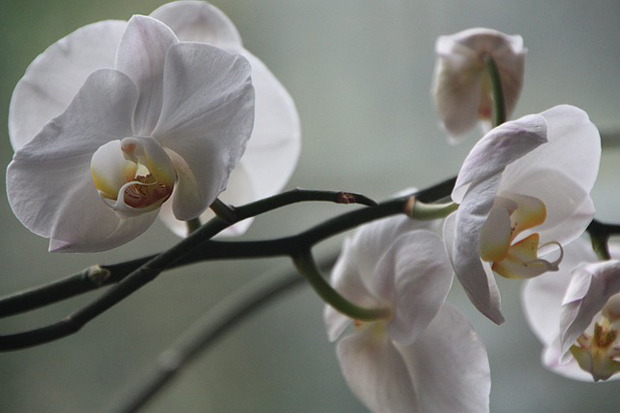 Orquídea phalaenopsis 5