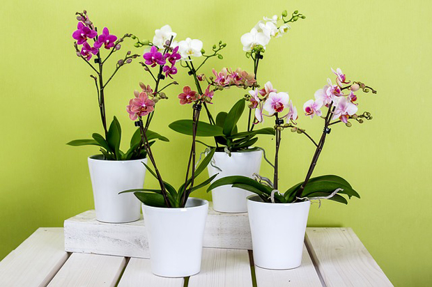 Orquídea phalaenopsis 6
