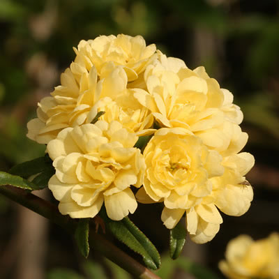 Rosa banksiae 1