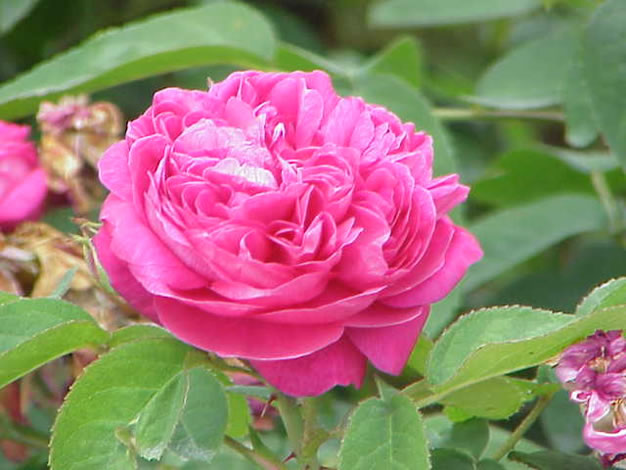 Rosa damascena 1