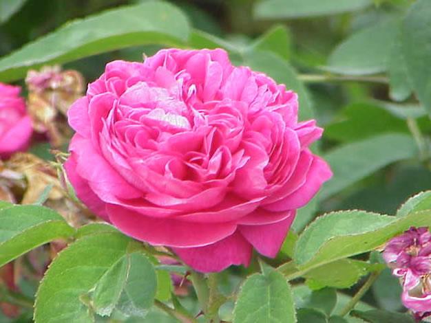 Rosa damascena 1
